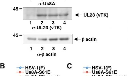 Living with Hsv 1 Best Of Roles Of Us8a and Its Phosphorylation Mediated by Us3 In