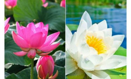 A Lotus Inspirational Lotus Flower Seeds Pink & White Colors Seeds for Home Garden
