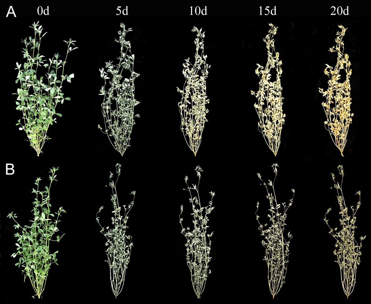Lotus Development Lovely From Model to Crop Functional Analysis Of A Stay Green Gene