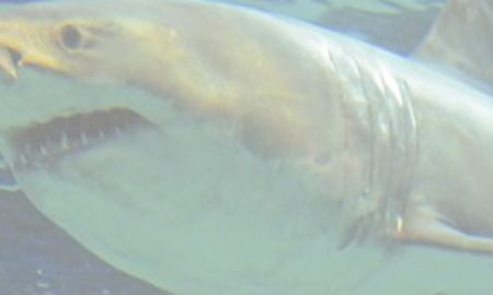 What is orca Inspirational Captive Great White Shark Dies before It Has Chance to Star